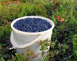 yakut-berries